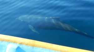 Dolphin Swimming Alongside of Our Boat. Click photo for full size.